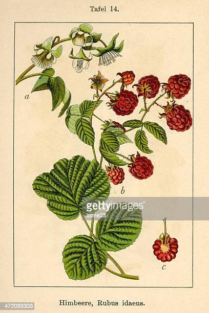 botanic fia v08 t14 rubus idaeus - raspberry stock illustrations, clip art, cartoons, & icons