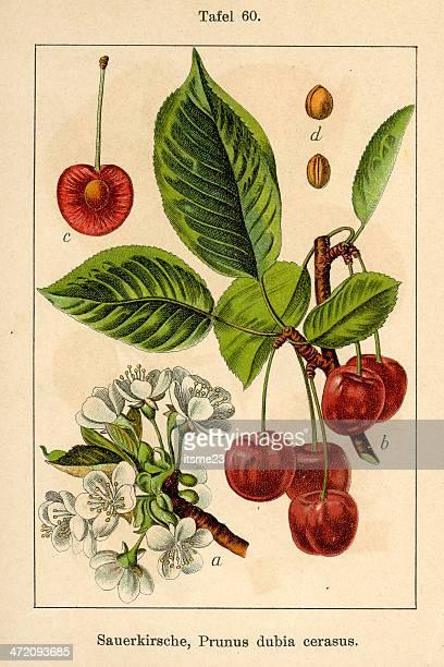 植物 fia v 08 t60 prunus dubia cerasus - サワーチェリー点のイラスト素材/クリップアート素材/マンガ素材/アイコン素材