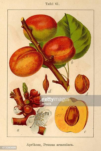 FiA botaniques v08 t61 armeniaca Prunus