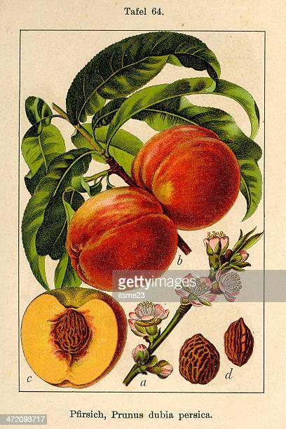 ilustrações de stock, clip art, desenhos animados e ícones de botânico fia v08 t64 prunus dubia persica - litografia