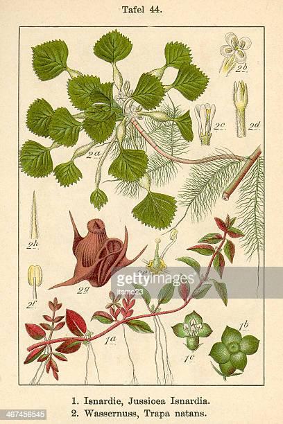 botanic fia v09 t44 jussioea isnardia et trapa matans - trapa stock illustrations
