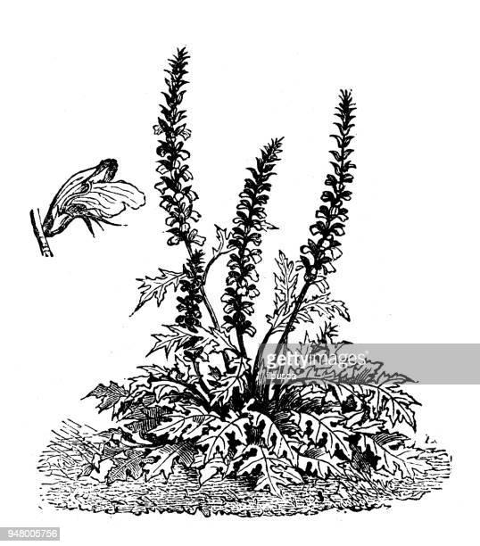 植物植物アンティーク彫刻イラスト: アカンサス spinosus