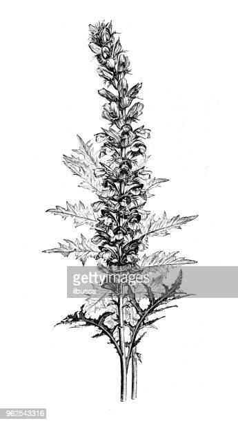 植物植物アンティーク彫刻イラスト: アカンサス Spinosus (とげのあるクマの尾)