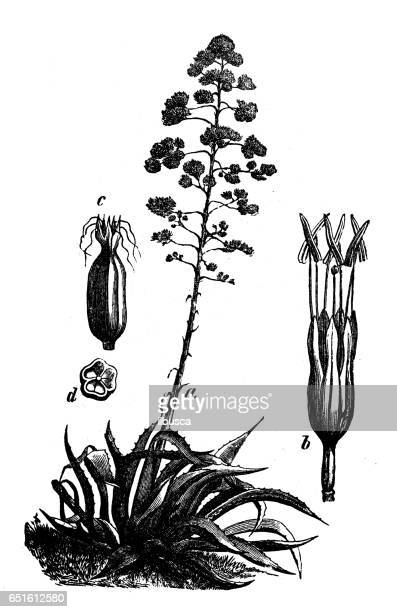 Botany plants antique engraving illustration: Agave americana (sentry plant, century plant, maguey or American aloe)