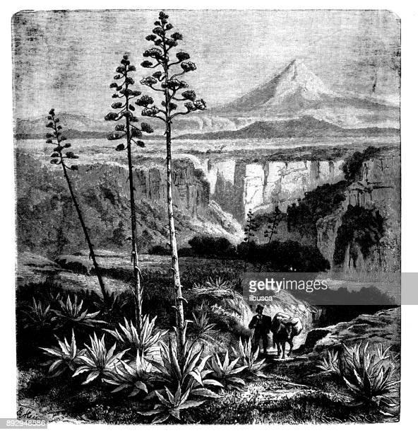 Botany plants antique engraving illustration: Agave