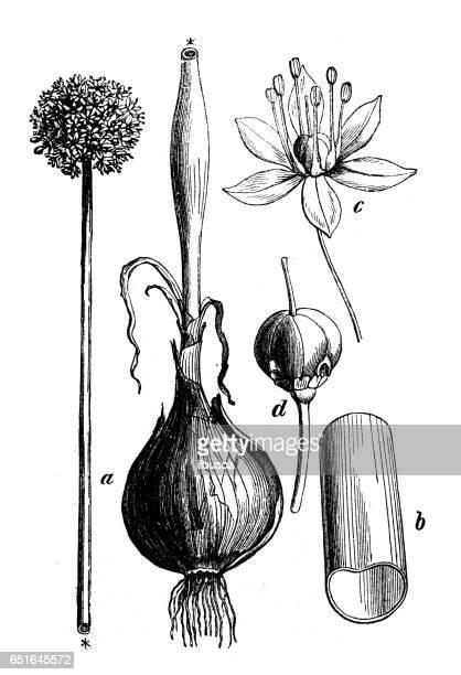 botany plants antique engraving illustration: allium cepa (onion) - allium flower stock illustrations