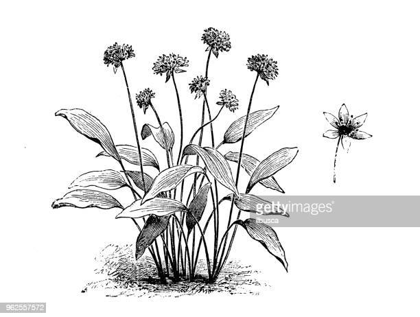 Botany plants antique engraving illustration: Allium ursinum (ramsons, buckrams, wild garlic)