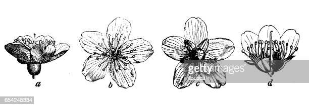 Botany plants antique engraving illustration: almond flower