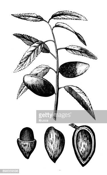 Botany plants antique engraving illustration: Almond tree (Prunus dulcis)