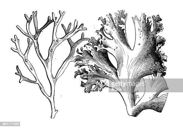 Botany plants antique engraving illustration: Alsidium helminthochorton