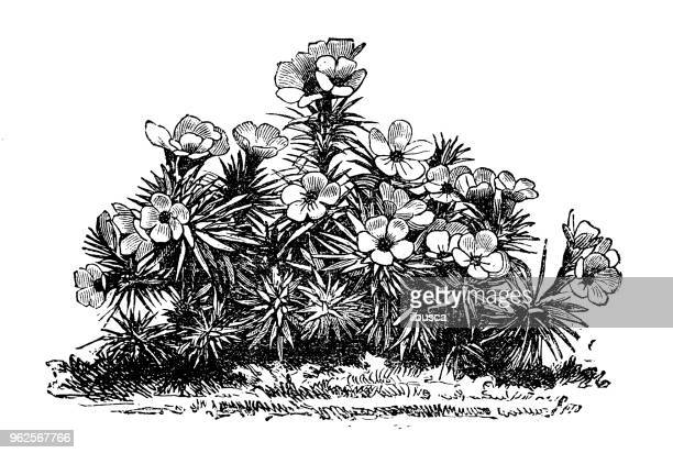 Botany plants antique engraving illustration: androsace laggeri