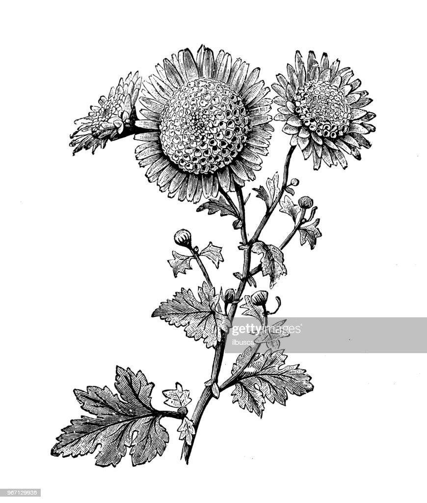 Botany plants antique engraving illustration: Anemone Pompone Chrysanthemum : stock illustration