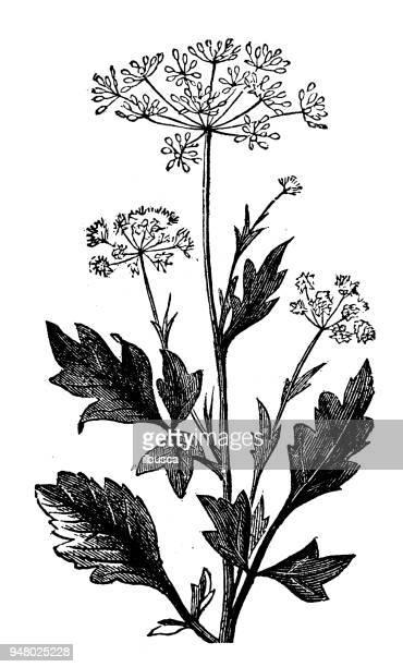 Botánica Plantas antigua ilustración de grabado: anís
