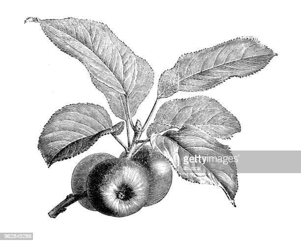 ilustraciones, imágenes clip art, dibujos animados e iconos de stock de botánica plantas antigua ilustración de grabado: manzano - manzana