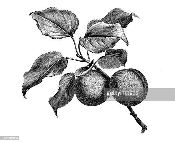Plantes de botanique antique illustration de gravure: abricotier