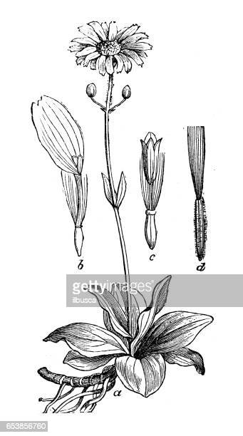 botany plants antique engraving illustration: arnica montana (wolf's bane, leopard's bane, mountain tobacco or mountain arnica) - tobacco crop stock illustrations, clip art, cartoons, & icons
