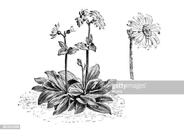植物植物アンティーク彫刻イラスト: アルニカモンタナ (オオカミの悩みの種、ドロニクム、山タバコ、山アルニカ) - アルニカ点のイラスト素材/クリップアート素材/マンガ素材/アイコン素材