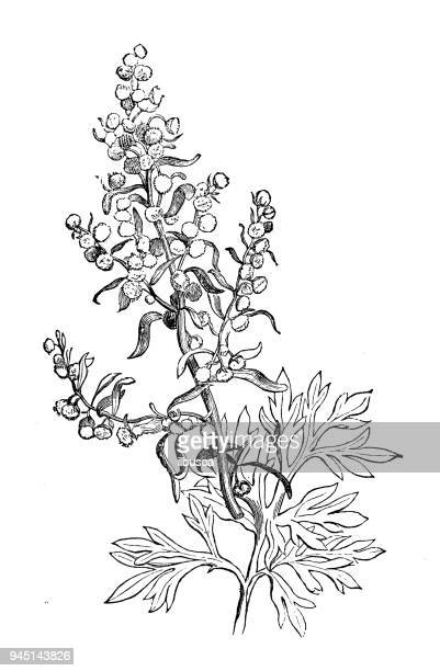 World S Best Artemisia Stock Illustrations Getty Images