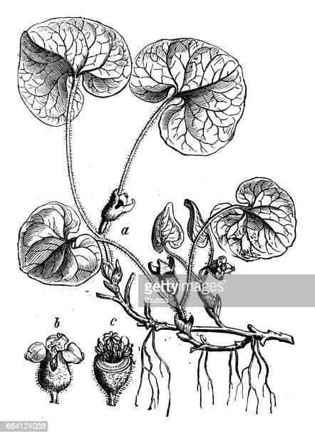 植物植物アンティーク彫刻イラスト: カンアオイ europaeum (asarabacca、ヨーロッパの野生のジンジャー、hazelwort、野生のスパイクナード)