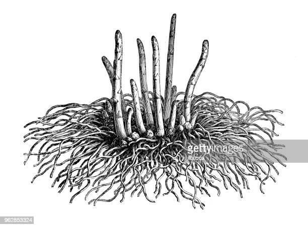 botany plants antique engraving illustration: asparagus - asparagus stock illustrations, clip art, cartoons, & icons