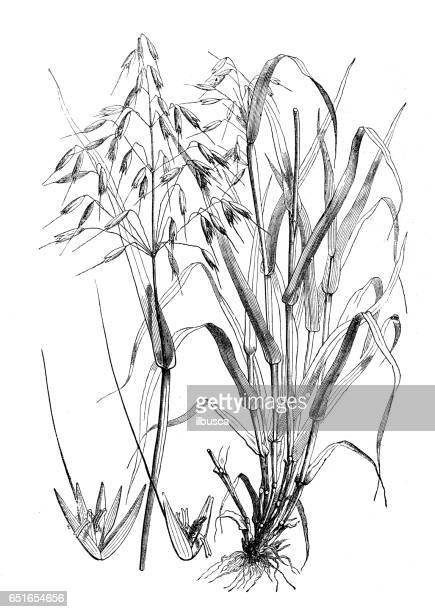 botany plants antique engraving illustration: avena sativa (oat) - plant attribute stock illustrations, clip art, cartoons, & icons
