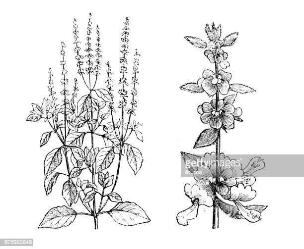 botany plants antique engraving illustration: basil, ocimum basilicum - basil stock illustrations, clip art, cartoons, & icons