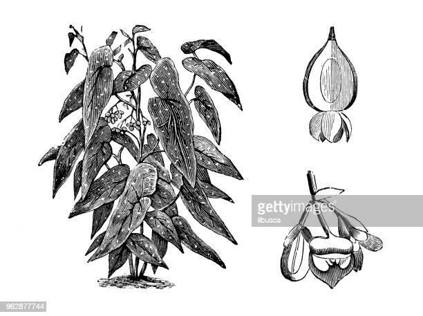 botany plants antique engraving illustration: begonia maculata - begonia stock illustrations