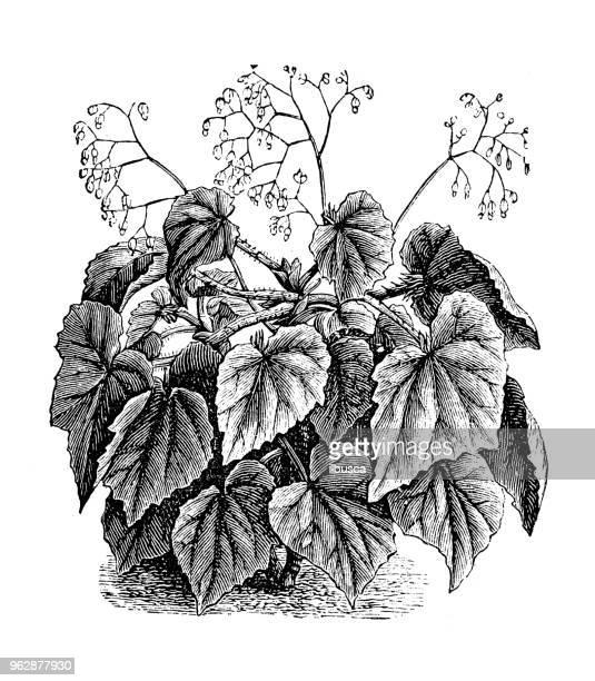 botany plants antique engraving illustration: begonia manicata - begonia stock illustrations