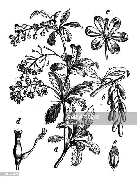 botany plants antique engraving illustration: berberis vulgaris (common barberry) - ranunculus stock illustrations, clip art, cartoons, & icons