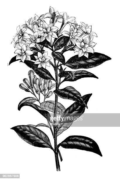 Botany plants antique engraving illustration: Bouvardia Alfred Neuner