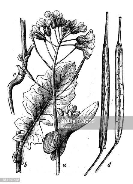 植物植物アンティーク彫刻イラスト: ナタネ (菜の花)