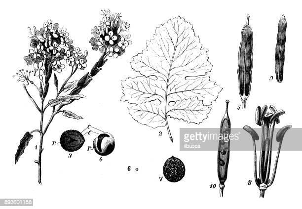 植物植物アンティーク彫刻イラスト: Brassica 黒 (マスタード)