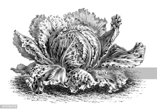 Botany plants antique engraving illustration: Cabbage Lettuce