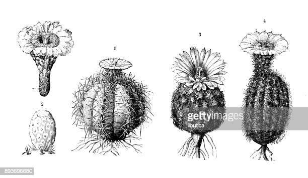 ilustraciones, imágenes clip art, dibujos animados e iconos de stock de botánica plantas antigua ilustración de grabado: cactus - cactus