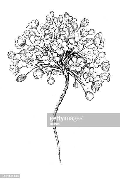 ilustraciones, imágenes clip art, dibujos animados e iconos de stock de botánica plantas antigua ilustración de grabado: candida cambia - candida albicans
