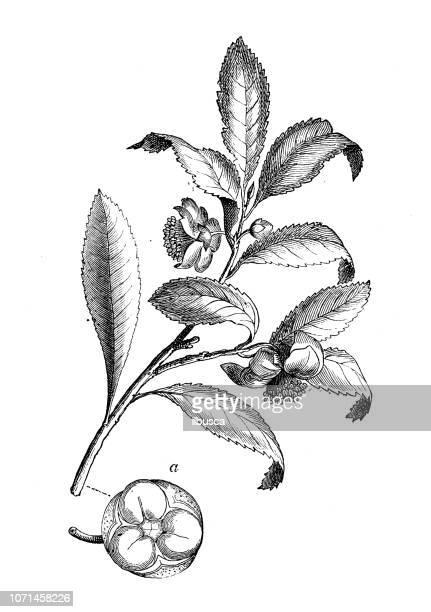 ilustrações, clipart, desenhos animados e ícones de plantas de botânica antiga ilustração de gravura: camellia sinensis - botão estágio de flora