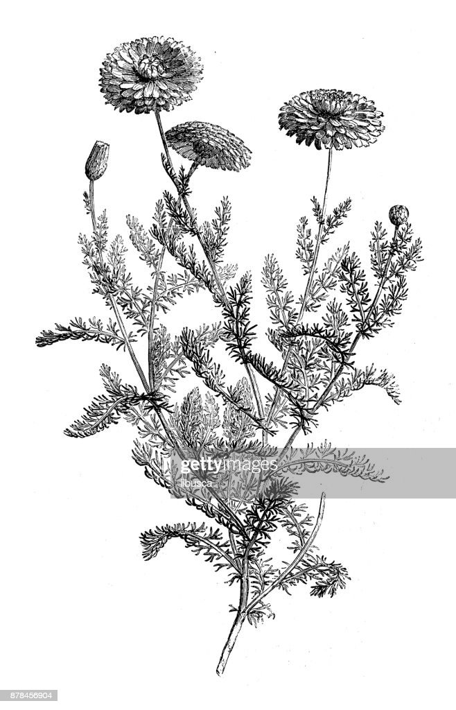 Botánica Plantas antigua ilustración de grabado: manzanilla : Ilustración de stock