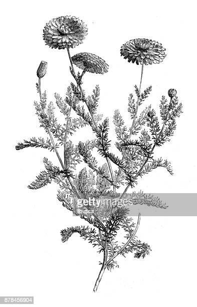 ilustraciones, imágenes clip art, dibujos animados e iconos de stock de botánica plantas antigua ilustración de grabado: manzanilla - planta de manzanilla