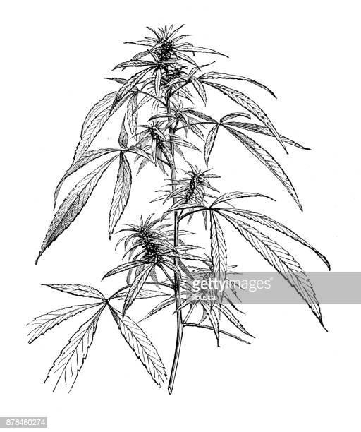 ilustraciones, imágenes clip art, dibujos animados e iconos de stock de botánica plantas antigua ilustración de grabado: cannabis - marihuana