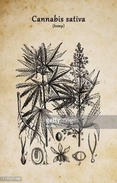 植物学植物アンティーク彫刻イラスト:大麻サティバ - カンナビスサティバ点のイラスト素材/クリップアート素材/マンガ素材/アイコン素材