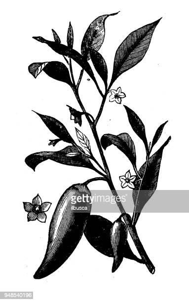 botany plants antique engraving illustration: capsicum - bell pepper stock illustrations, clip art, cartoons, & icons
