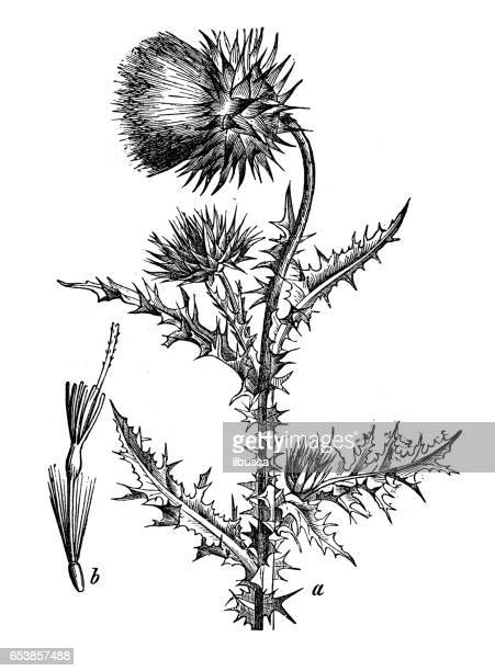 botany plants antique engraving illustration: carduus nutans (musk thistle, nodding thistle or nodding plumeless thistle) - thistle stock illustrations, clip art, cartoons, & icons