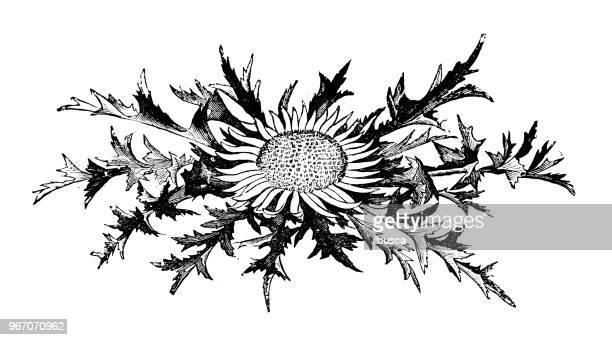 ilustraciones, imágenes clip art, dibujos animados e iconos de stock de botánica plantas antigua ilustración de grabado: carlina acaulis (sin tallo carline cardo, enano carline thistle, thistle de plata) - camaleón