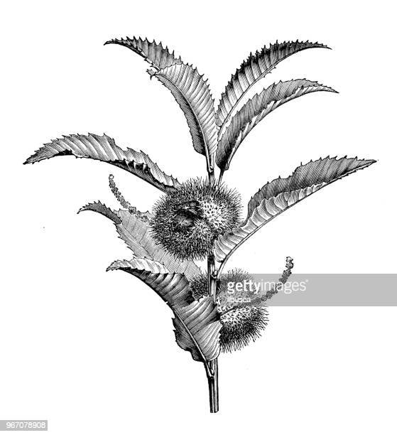 illustrazioni stock, clip art, cartoni animati e icone di tendenza di botany plants antique engraving illustration: castanea sativa (sweet chestnut) - marrone