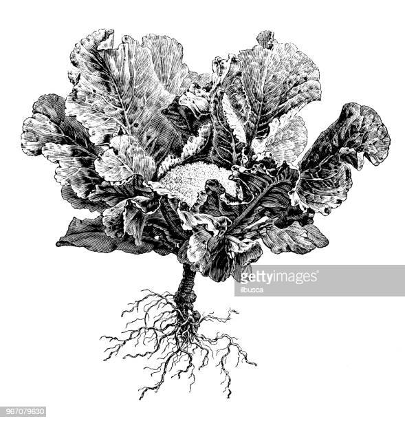 botany plants antique engraving illustration: cauliflower - cauliflower stock illustrations, clip art, cartoons, & icons
