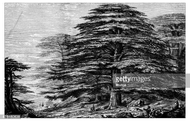 Illustrations et dessins anim s de c dre getty images - Cedre bleu du liban ...