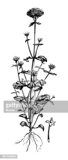 botany plants antique engraving illustration: centranthus macrosiphon, long-spurred valerian - valerian plant stock illustrations