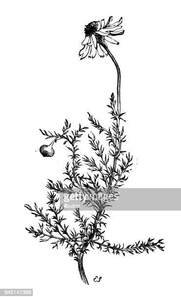 ilustraciones, imágenes clip art, dibujos animados e iconos de stock de botánica plantas antigua ilustración de grabado: chamaemelum nobile (manzanilla) - manzanilla
