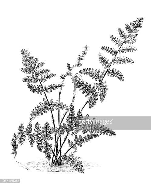 botany plants antique engraving illustration: cheilanthes clevelandii, myriopteris clevelandii, cleveland's lip fern - northeastern england stock illustrations, clip art, cartoons, & icons