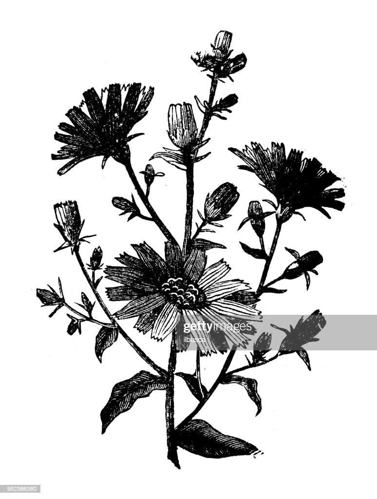 Botany plants antique engraving illustration: Chicory : stock illustration